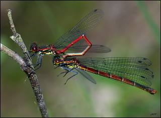 Red Damselfly's | by Jefflor8