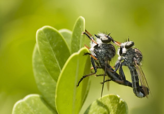 Robber Flies | by ninjabirder