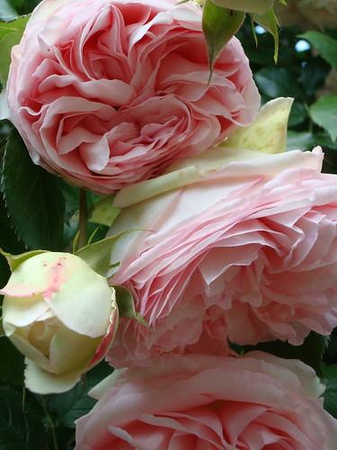Les roses de mon jardin flickr for Mon jardin 3d