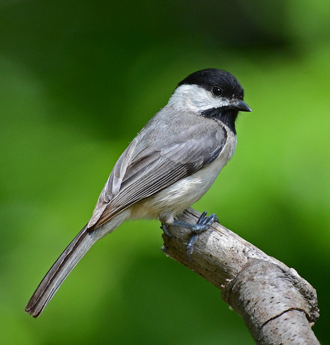 Carolina Chickadee | by flyfishermike