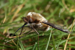 Bee fly with wing walker | by Lord V