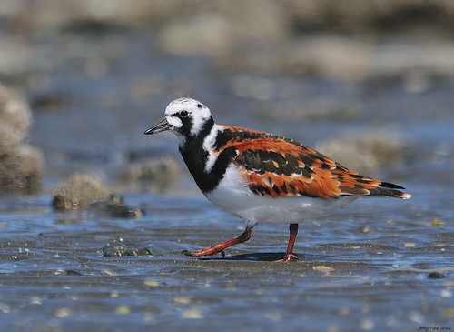 Ruddy Turnstone | by Jerry Ting
