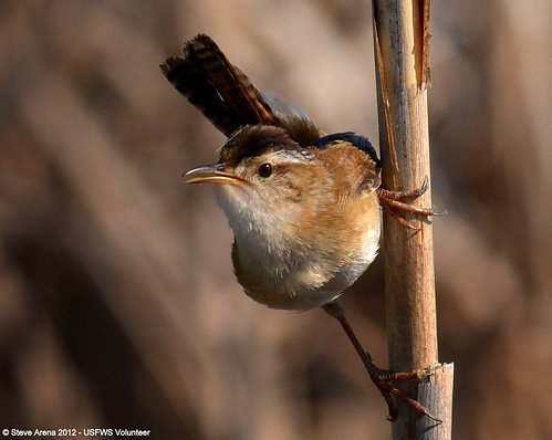 Marsh Wren (Cistothorus palustris) Great Meadows NWR, Concord, MA | by U. S. Fish and Wildlife Service - Northeast Region