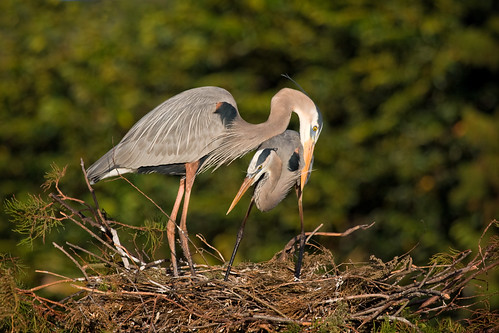 Great Blue Heron Courtship | by Photomatt28