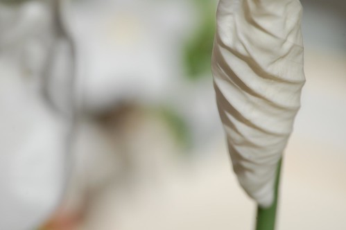 Spathiphyllum | by fred 28