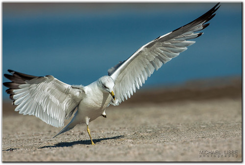 Dancing Gull | by mlibbe