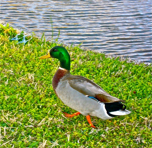 """Florida Duck"" 