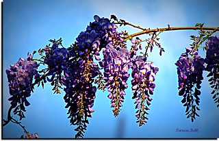 Wishing For More Wisteria! | by swt snookie