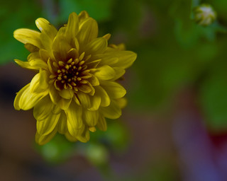 yellow mum | by sidturner