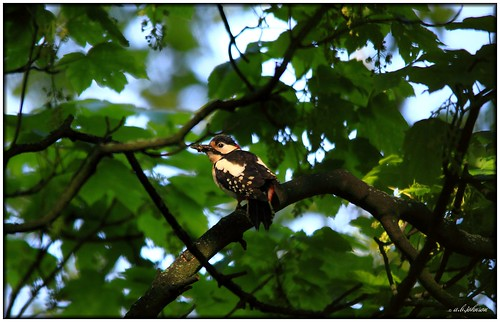 MIDDLETON WOODPECKER | by car 67