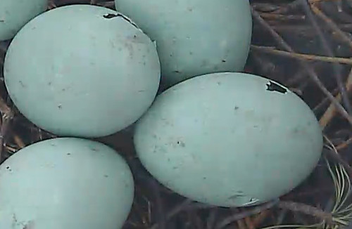 Pips in Great Blue Heron eggs