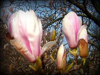 Magnolias .... | by ** Janets Photos **
