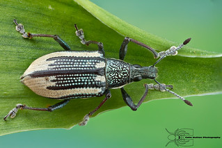 Diapreps root weevil - Diaprepes abbreviatus | by Colin Hutton Photography