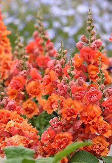 Antirrhinum 'Double Azalea Apricot' again! We never get tired of it. | by anniesannuals