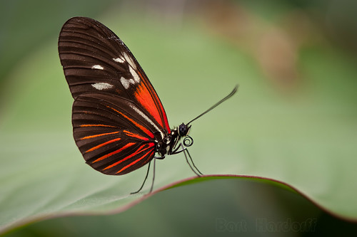 Heliconius butterfly | by Bart Hardorff