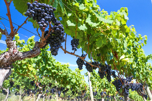 Syrah grapes on the vines at Cable Bay | by Cable Bay Vineyards