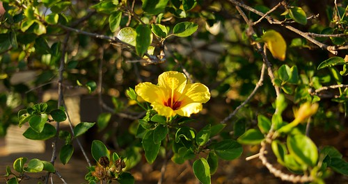 Yellow Hibiscus | by Thüncher Photography