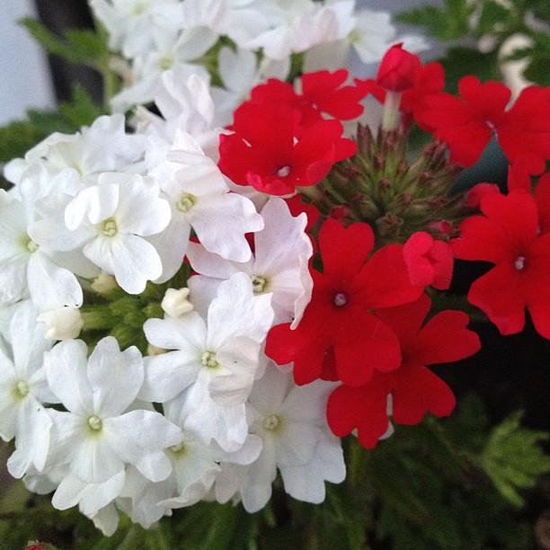 Fleur Du Jardin Fleur Instagram Instagood Popularpictu Flickr