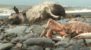 Dead sheep and crab on beach | by Sara Penrhyn Jones