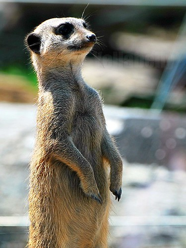 Meerkat Suricata suricatta | by Yellabelly*