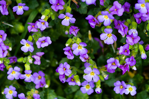 Small Purple Flowers | by M.A.Gibson