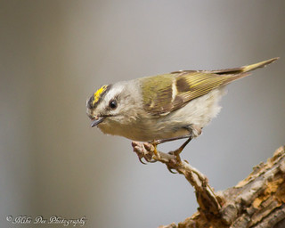 Gold-crowned Kinglet | by claybuster1(doing good just very busy)