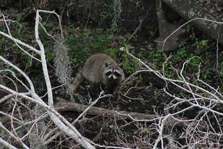 Raccoon @CBBR - IMG_6287 60D *Video Link | by Brandohl Photography [Wendy]