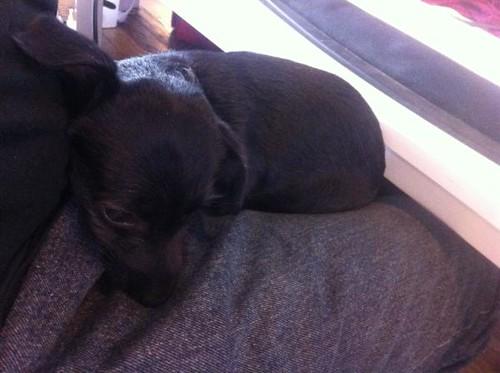 Cute Lap Dog Breeds