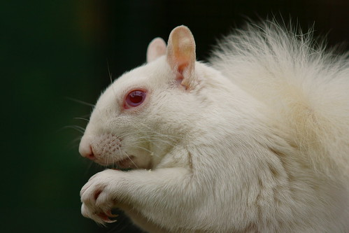 Albino Grey Squirrel | by Peter G Trimming