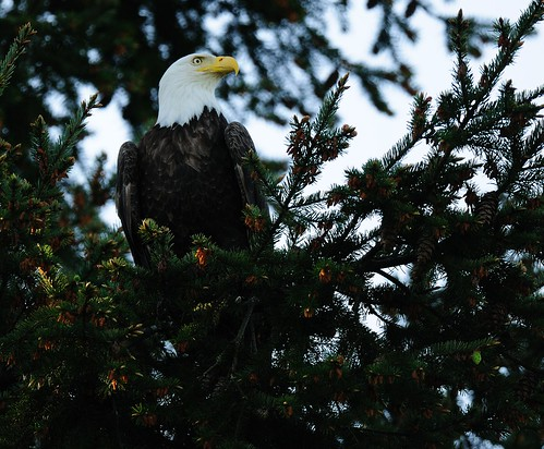 Bald Eagle | by integralrootcosxdx