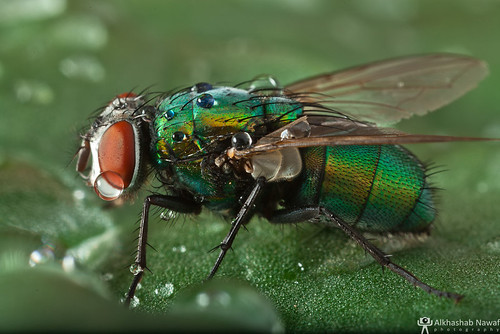 Green FLY! | by AlkhashabNawaf