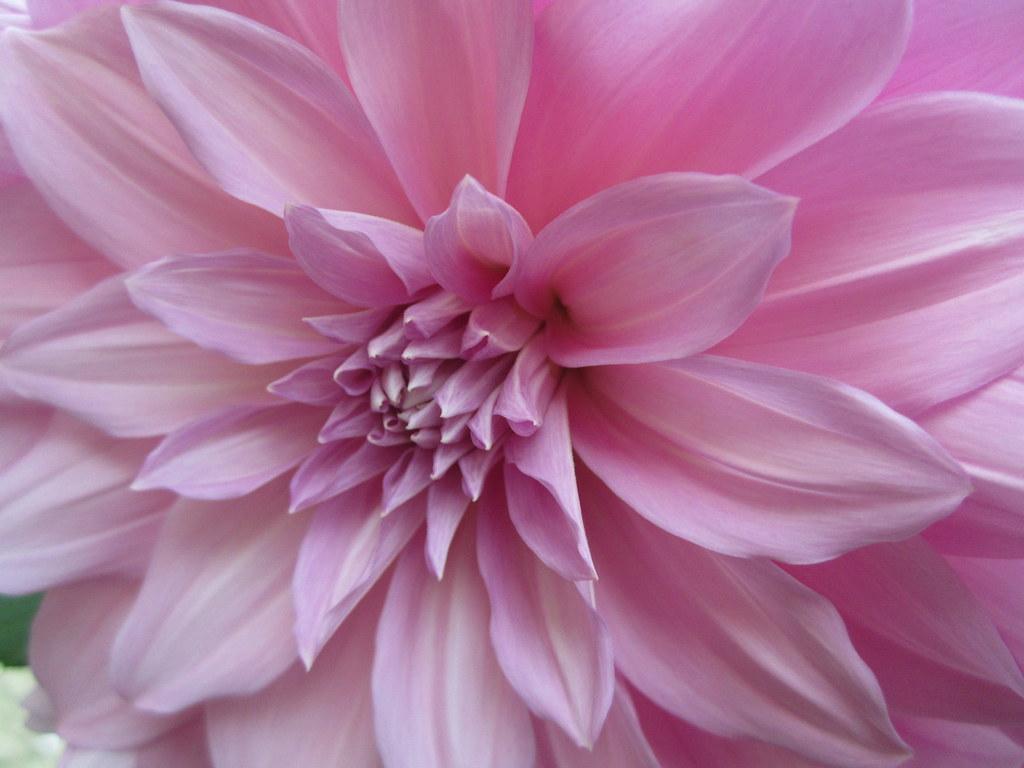 Pale Pink Flower Sangeeta Lall Flickr