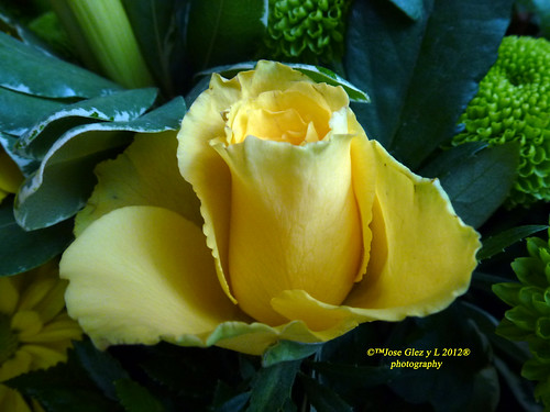 Yelow rose. Rosa amarilla. | by Pepe (ADM)