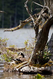 Nesting on Bowen Island, BC | by Canorka