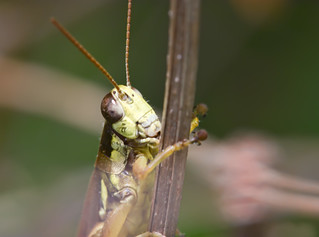 Grasshopper | by Bob Decker