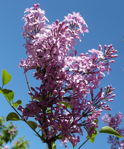 Lombard, IL, Lilacia Park, Pink Lilacs | by Mary Warren (8.1+ Million Views)