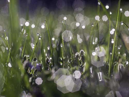 Bokeh Grass Gras Backlight Dew Drops Tautropfen Gegenlicht | by hn.