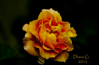 Rose | by Diane G. Zooms---Mostly Off