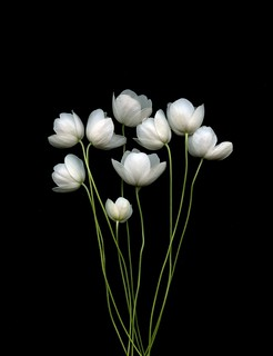 54343-01 Anemone canadensis | by horticultural art