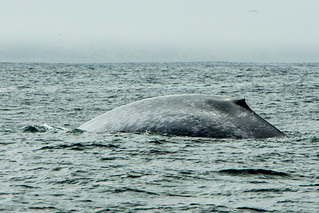Blue Whale, Balaenoptera musculus near Morro Bay CA | by mikebaird