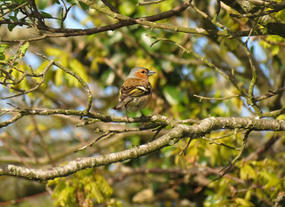 Chaffinch | by Welsh Spring