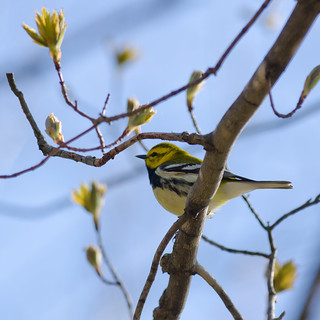 Black-throated Green Warbler | by Chungking Express