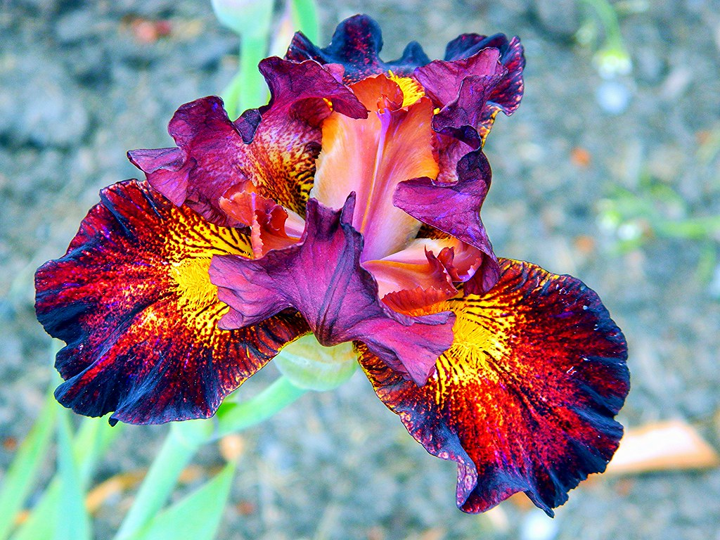 Red Iris Carlin Flickr