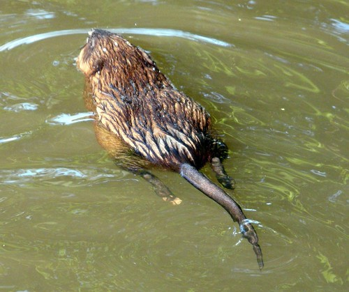 Muskrat | by Mike's Birds