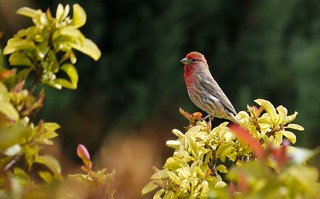 House finch, West Texas | by Surender Bodhireddy