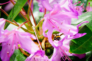 Bee within pink flowers | by MegaPixel Panda