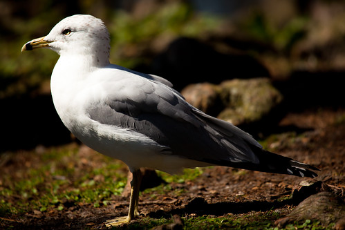 Ring-billed Gull | by Lou FCD