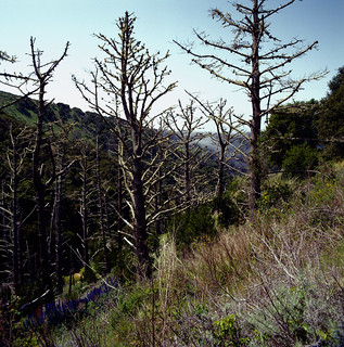 Dead Pines on Angel Island | by Rodney A. Johnson