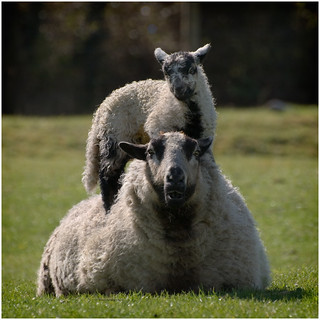 Badger Faced Piggyback Sheep | by eyesore9