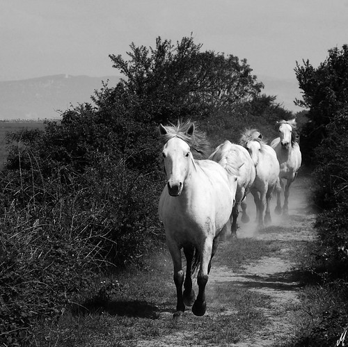 Hot day, white horses, white dust | by Ginko Triloba